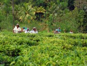 8525934-Tamil-tea-pickers-at-the-plantation-in-Sri-Lanka-near-the-city-of-Kandy-on-the-4th-of-December-2008-Stock-Photo